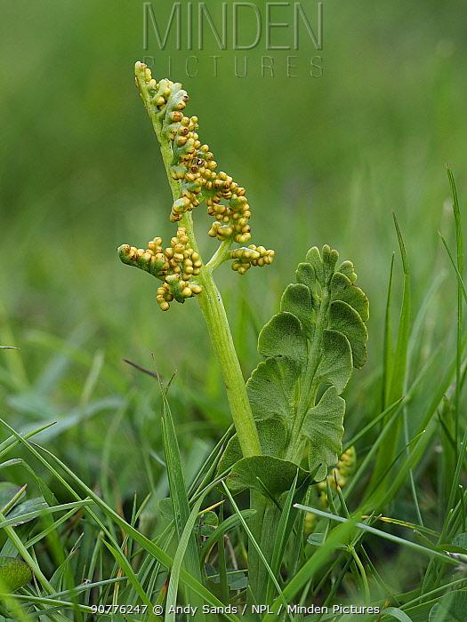Moonwort (Botrychium lunaria) , Upper Teesdale, Co Durham, England, UK, June - Focus Stacked Image