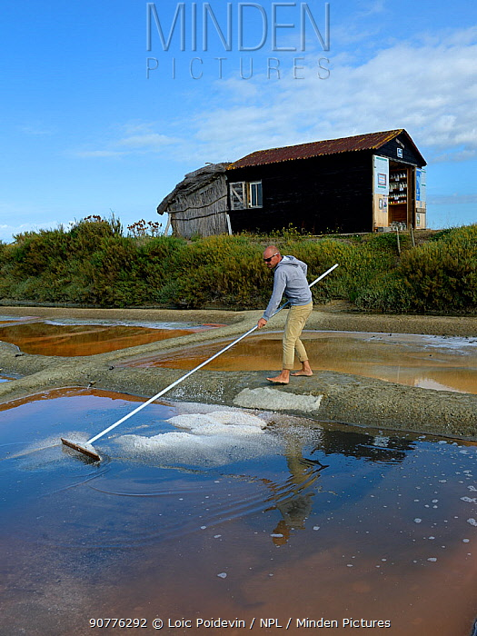 Man collecting salt from salt evaporation pond, L'Ile d'Olonne, Vendee, France, July.