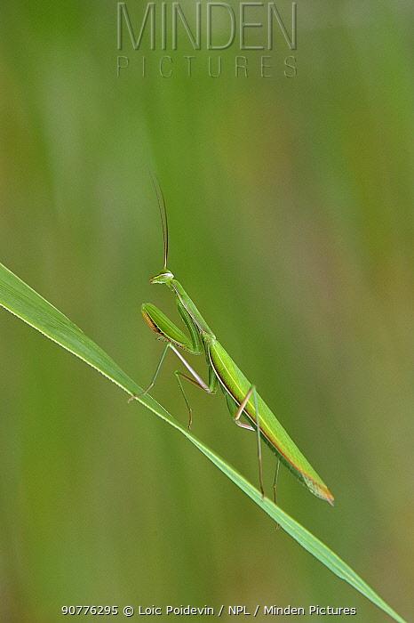 European praying mantis (Mantis religiosa) on a blade of grass, Vendee, France, July.