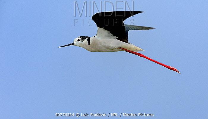 Black-winged stilt (Himantopus himantopus) in flight, Marais Breton, France. June.