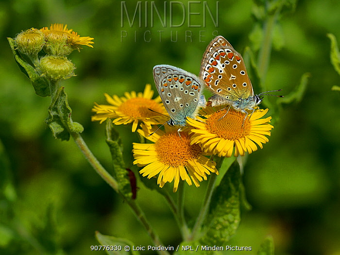 Two Common blue butterflies (Polyommatus icarus) mating on Common fleabane flowers (Pulicaria dysenterica), Vendee, France. July.
