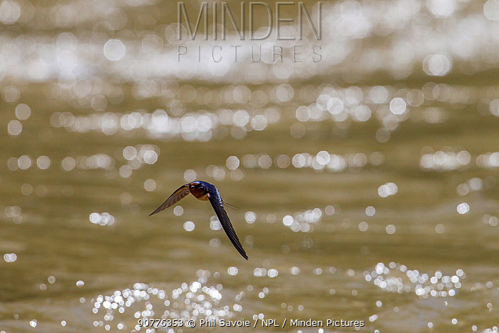 American barn swallow (Hirundo rustica erythrogaster) in flight catching insects over the Gallatin River, Yellowstone National Park, Montana, August.