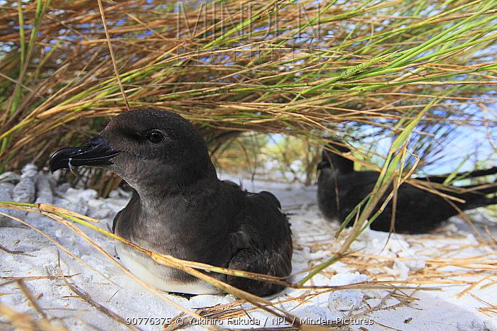 Phoenix Petrel (Pterodroma alba) resting on sand, Christmas Island / Kiritimati, July