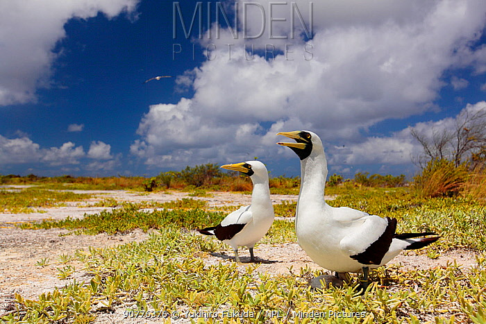 Masked booby (Sula dactylatra) pair on beach, one calling, Christmas Island / Kiritimati, Pacific Ocean, July