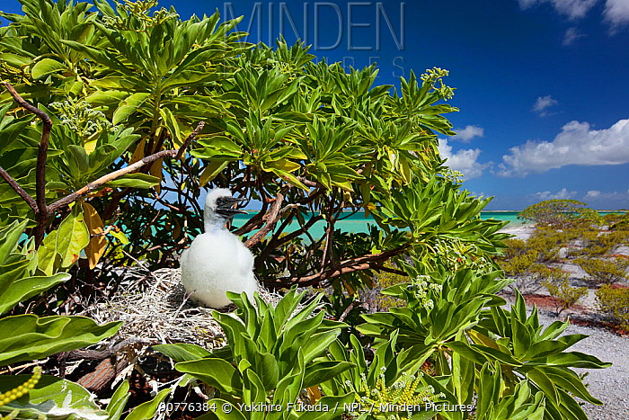 Red footed booby (Sula sula) chick at nest in tree, covered in white feathers as protection against heat of sun, Christmas Island / Kiritimati, Pacific Ocean, July