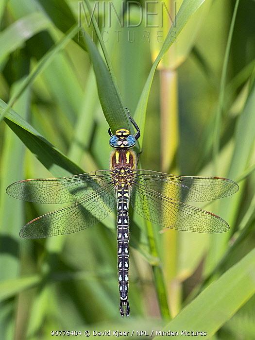 Hairy dragonfly (Brachytron pratense) male, Ham Wall RSPB Reserve,  Somerset Levels, England, UK, April.