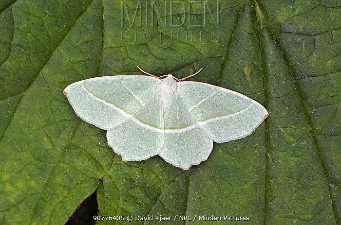 Light emerald moth (Campaea margaritata) Wiltshire, England, UK.