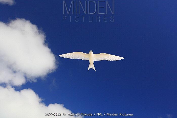 White tern (Gygis alba) in flight overhead, Christmas Island / Kiritimati, Pacific Ocean, July