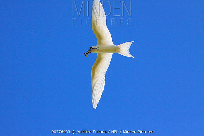 White tern (Gygis alba) parent flying back to nest with small fish catch, to feed chick, Christmas Island / Kiritimati, Pacific Ocean, July