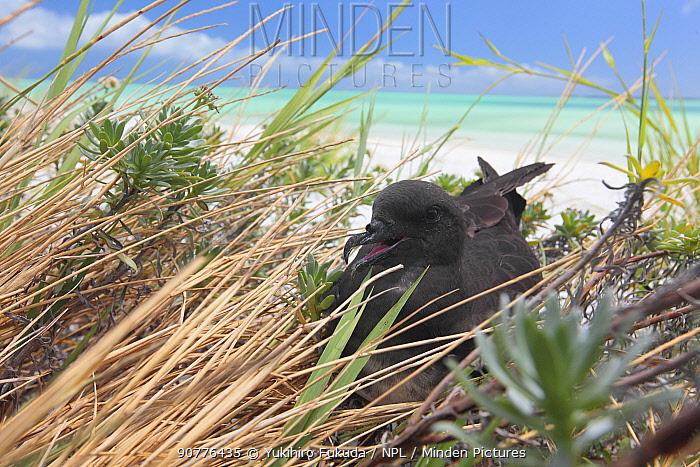 Phoenix Petrel (Pterodroma alba) resting on the ground, Christmas Island / Kiritimati, July