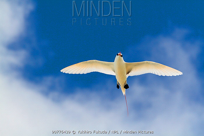 Red tailed tropicbird (Phaethon rubicauda) in flight overhead, Christmas Island / Kiritimati, Pacific Ocean, July
