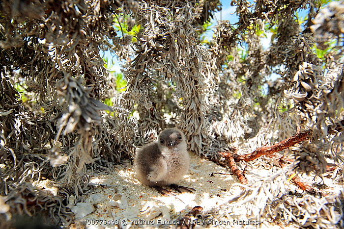 Blue-grey noddy (Procelsterna cerulea) chick in the nest, in bushes near to the beach, Christmas Island / Kiritimati, July