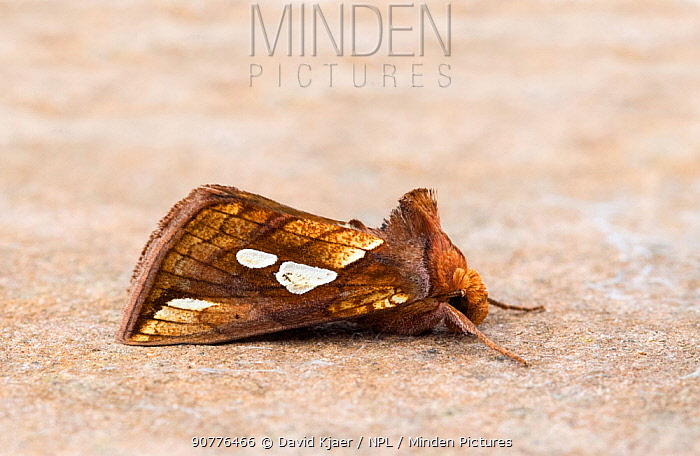 Gold spot moth (Plusia festucae) Wiltshire, England, UK, August.