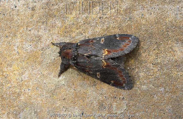 Iron prominent moth (Notodonta dromedarius) Wiltshire, England, UK, June.