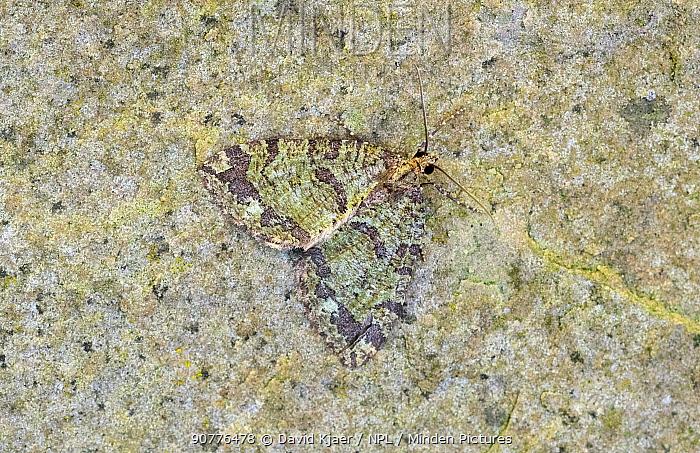 July highflyer moth (Hydriomena furcata) Wiltshire, England, UK, June.
