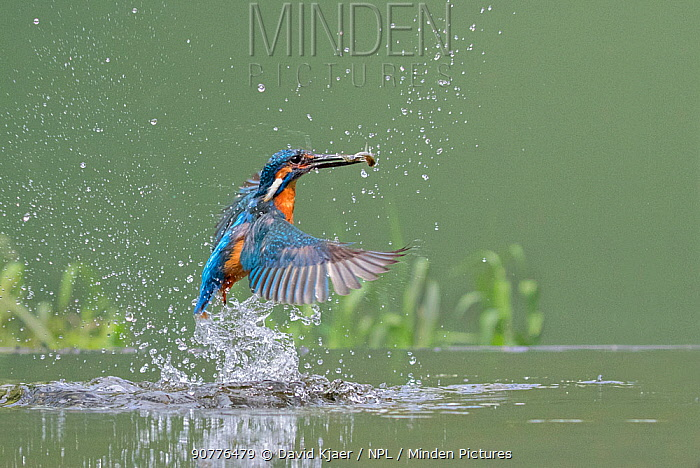 Kingfisher (Alcedo atthis) male taking off from water after diving for fish, Worcestershire, England, UK, July.