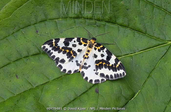 Magpie moth (Abraxas grossulariata) Dorset, England, UK, July.
