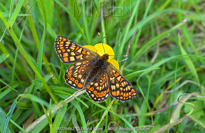 Marsh Fritillary butterfly (Euphydryas aurinia) feeding from Buttercup flower,  Wiltshire, England, UK, May.
