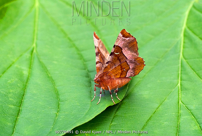 Purple thorn moth (Selenia tetralunaria) Dorset, England, UK, July.