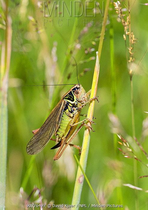 Roesel's Bush-cricket (Metrioptera roeselii) female, Wiltshire, England, UK, July.