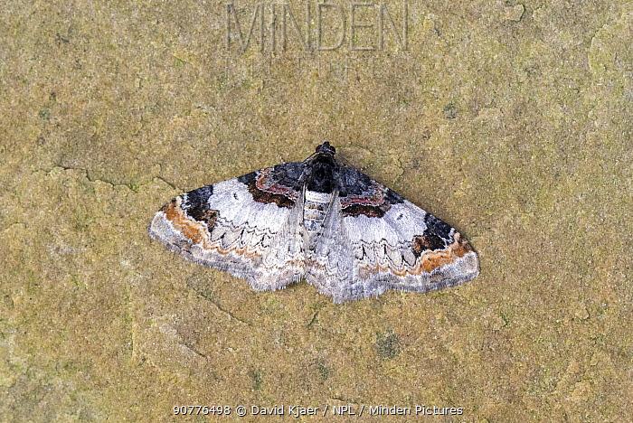 Royal mantle moth (Catarhoe cuculata) Wiltshire, England, UK, July.