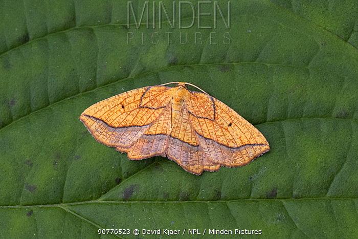 Bordered beauty moth (Epione repandaria) Dorset, England, UK, July.