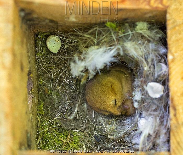 Common dormouse (Muscardinus avellanarius) in nest box, Wiltshire, England, UK, May.