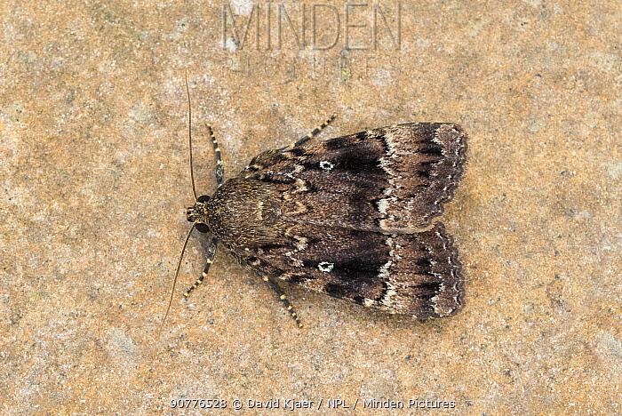 Copper underwing moth (Amphipyra pyramidea) Wiltshire, England, UK, August.