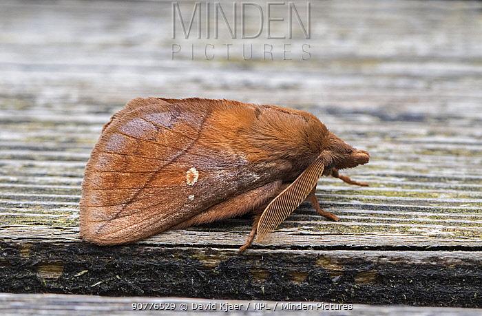 Drinker moth (Euthrix potatoria) Dorset, England, UK, July.