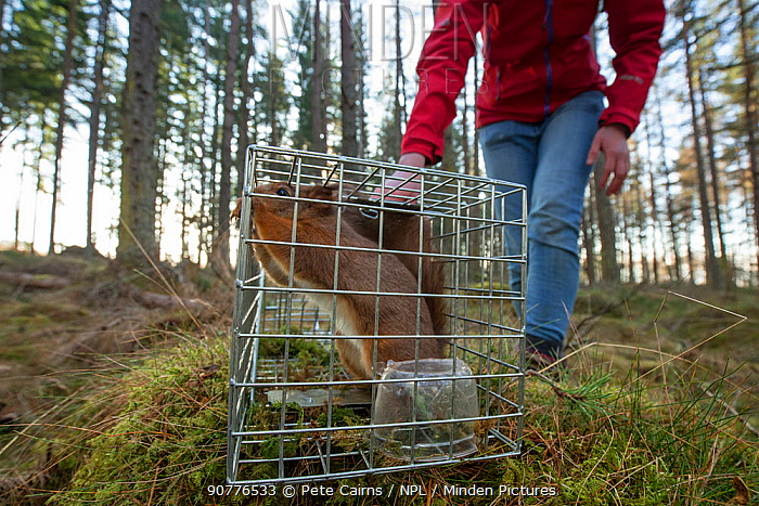 Becky Priestley, Wildlife Officer with Trees for Life, with Red squirrel (Sciurus vulgaris) caught in cage trap as part of reintroduction to the north west Highlands, Moray, Scotland, UK.