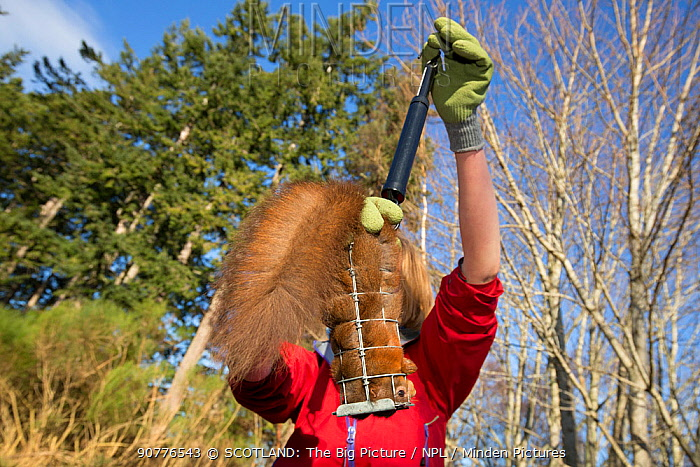 Becky Priestley, Wildlife Officer with Trees for Life, carrying out health checks on Red squirrels (Sciurus vulgaris) trapped as part of reintroduction to the north west Highlands, Moray, Scotland, UK.