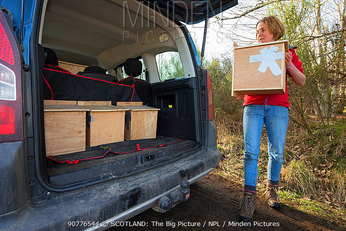 Becky Priestley, Wildlife Officer with Trees for Life, loading four Red squirrels (Sciurus vulgaris) into car, trapped as part of reintroduction to the north west Highlands, Moray, Scotland, UK.