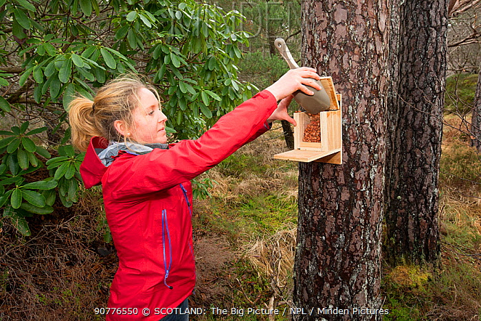 Becky Priestley, Wildlife Officer with Trees for Life, preparing cage trap to catch Red squirrels (Sciurus vulgaris) as part of reintroduction to the north west Highlands, Moray, Scotland, UK.