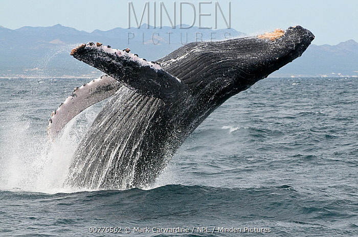 Humpback whale (Megaptera novaeangliae) breaching - leaping out of the water, Sea of Cortez, Baja California, Mexico
