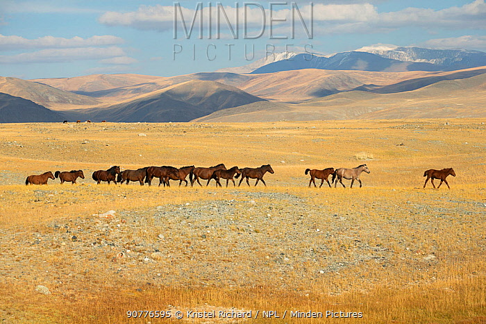 Band of wild Mongolian horses runs plains at the foot of Dungurukh Uul mountain, near the border with China and Kazakhstan, Bayan-Olgiy aymag, Mongolia. September.