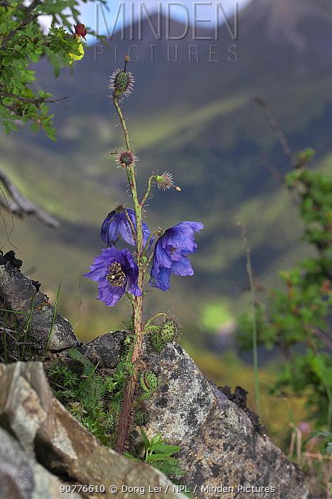 Poppy (Meconopsis racemosa) flower, Yunnan, China, July 2007.