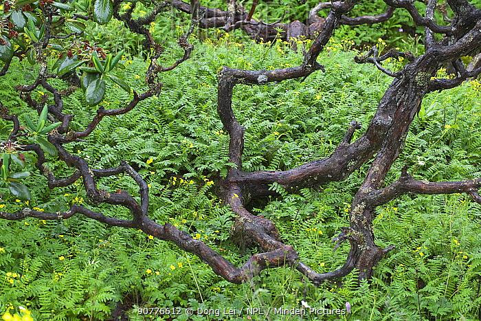 Rhododendron (Rhododendron sp) plant, Lijiang Laojunshan National Park, Yunnan, China, July.