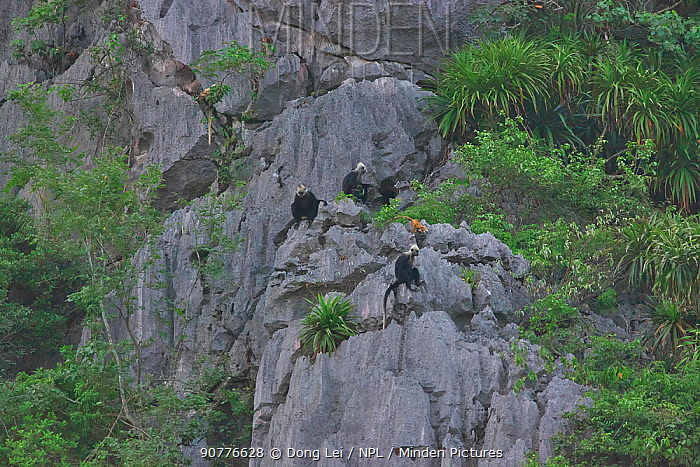 White-headed black langur (Trachypithecus poliocephalus leucocephalus) group on cliffs, Guangxi province, China, July. Critically endangered species.