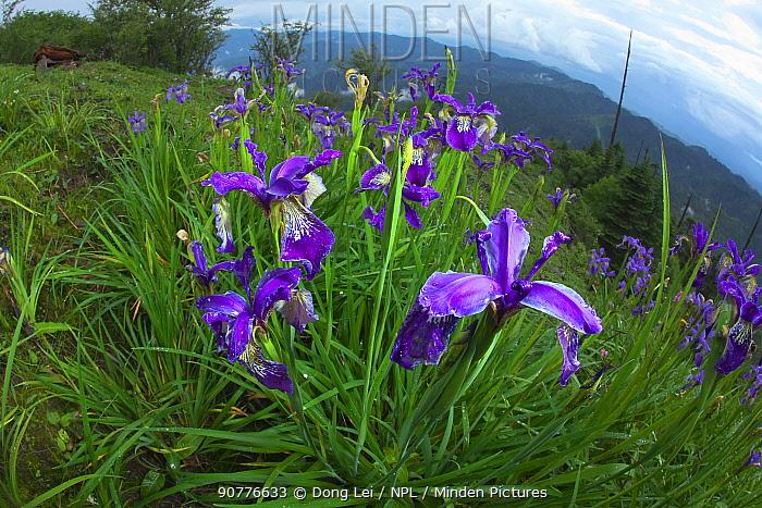 Black iris (Iris chrysographes) flowers, Lijiang Laojunshan National Park, Yunnan, China, July.