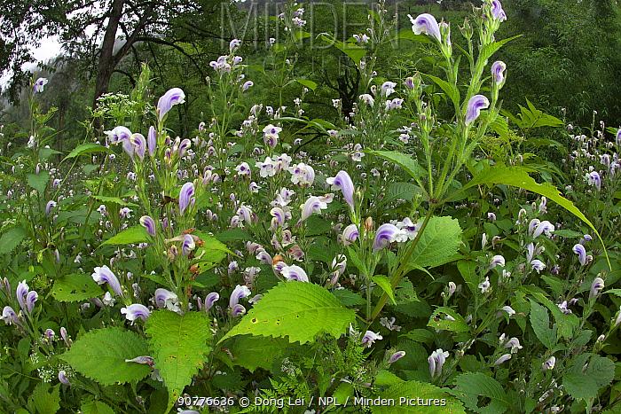 Toyota flowers (Salvia japonica) Lijiang Laojunshan National Park, Yunnan, China