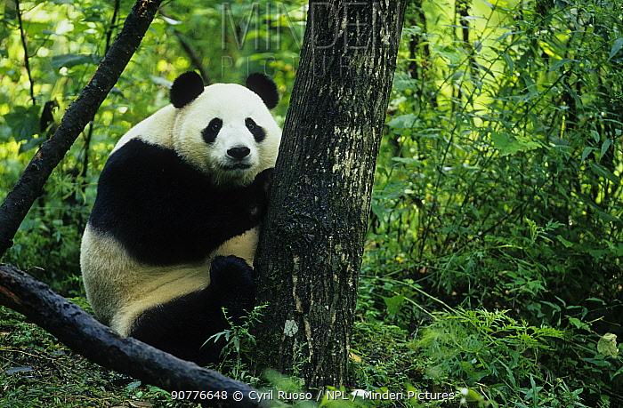 Giant panda (Ailuropoda melanoleuca) in tree, captive, Sichuan, China.