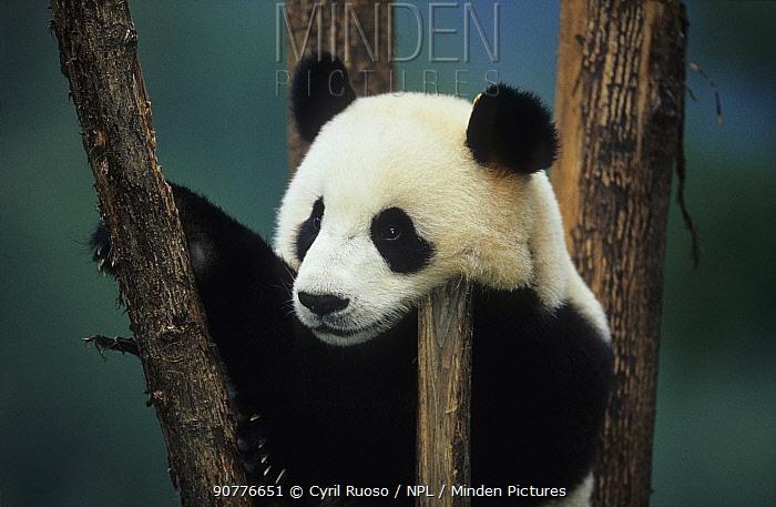Giant panda (Ailuropoda melanoleuca) young  playing in tree, captive, Sichuan, China.