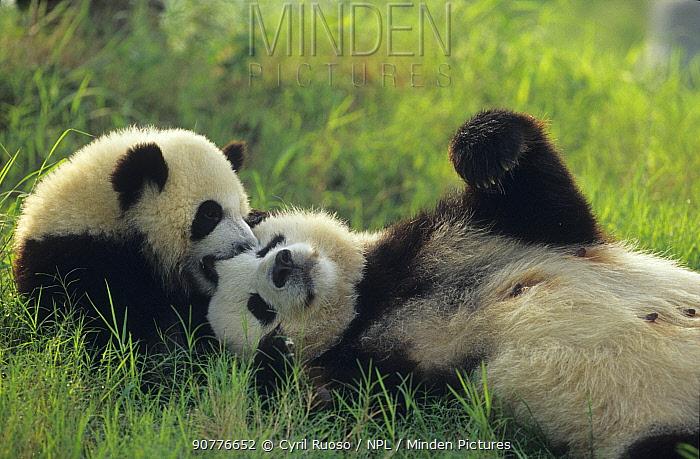 Giant panda (Ailuropoda melanoleuca) mother and young playing, captive, Sichuan, China.