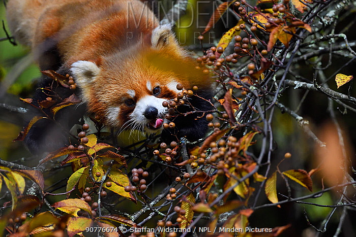 Red panda (Ailurus fulgens) in the humid montane mixed forest, Laba He National Nature Reserve, Sichuan, China