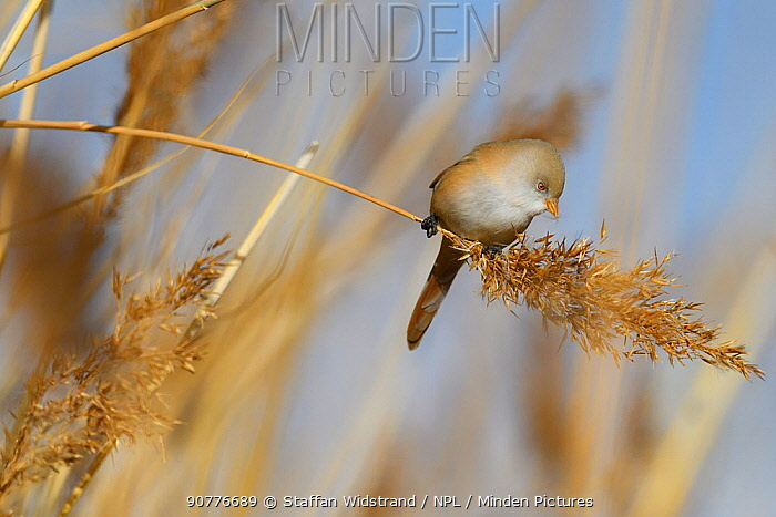 Bearded reedling or Bearded tit (Panurus biarmicus) female in reeds, Qai Dam Basin,  Tibetan Plateau, Qinghai, China