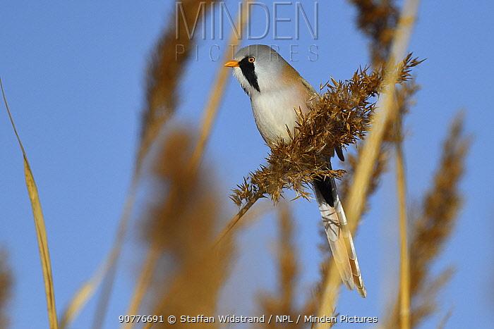 Bearded reedling or Bearded tit (Panurus biarmicus) male in reeds, Qai Dam Basin,  Tibetan Plateau, Qinghai, China