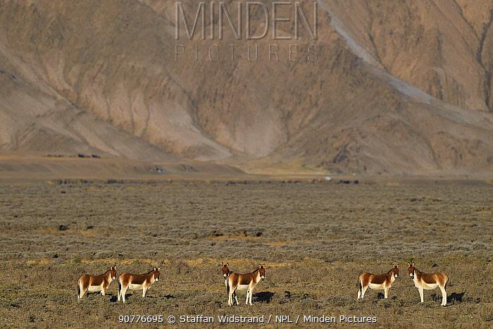 Kiang, (Equus kiang), Wild Yak Valley, Yeniu Gou National Nature Reserve, Tibetan Plateau, Qinghai, China