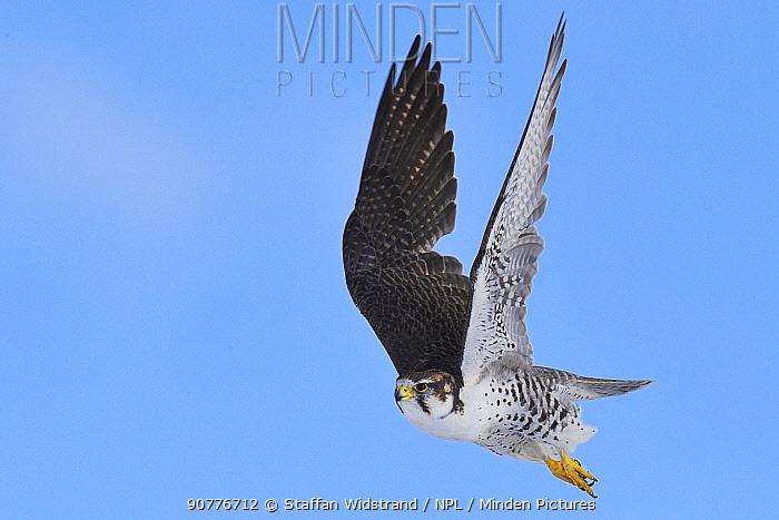 Saker falcon (Falco cherrug milvipes) in flight, Keke Xili, Changtang, Tibetan Plateau, Qinghai, China