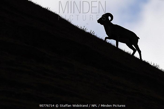 Argali, or Mountain sheep (Ovis ammon) silhouetted, Zhidua, Tibetan Plateau, Qinghai, China