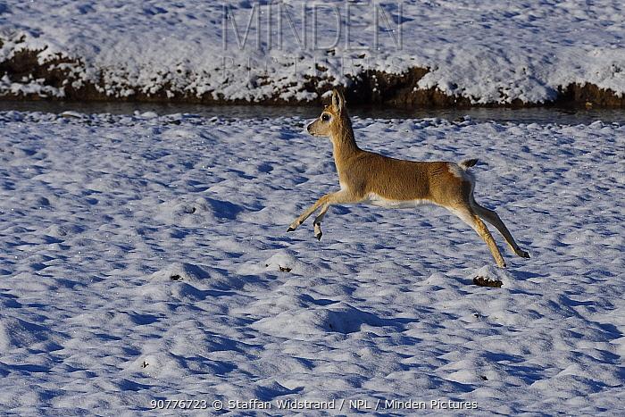 Tibetan gazelle or Goa (Procapra picticaudata), leaping in snow,  Keke Xili, Changtang, Tibetan Plateau, Qinghai, China